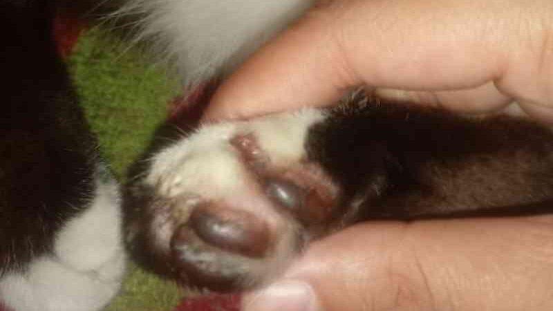 Gato tem unhas arrancadas ao sair de casa para passear em Manaus, AM
