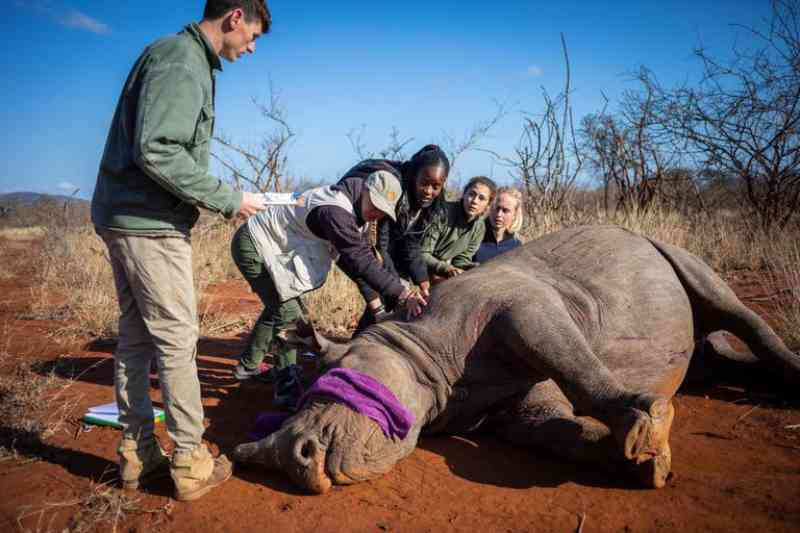 África do Sul corta chifres de rinocerontes para salvar os animais