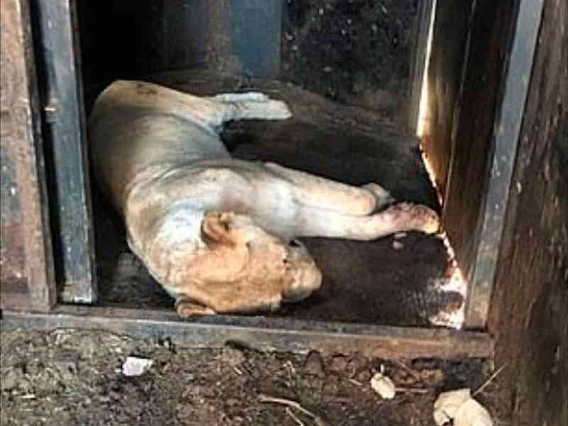 Leões eram criados para serem mortos em caçadas