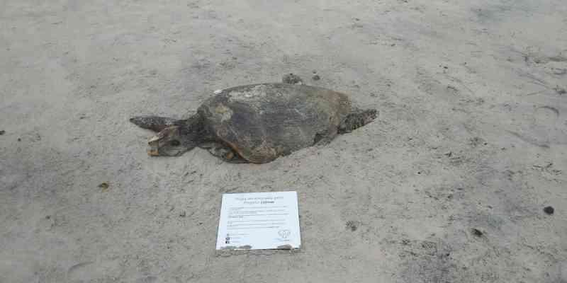 Tartaruga é encontrada morta em praia de Ilhéus; sobe para 110 nº de encalhes no litoral sul da Bahia