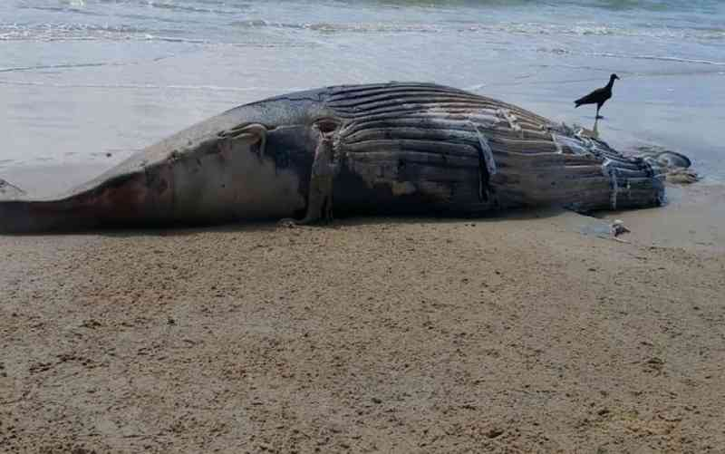 Filhote de baleia jubarte é achado morto em praia de Trancoso, na Bahia