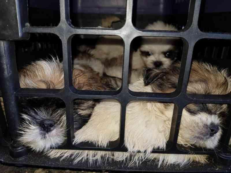 Justiça determina que filhotes de shih-tzu apreendidos amontoados em carro na BA sejam entregues a ONG