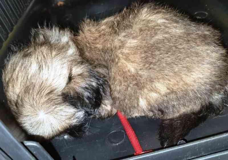 Mais 4 filhotes shih-tzu são resgatados em situação de maus-tratos na BR-116