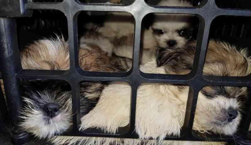 Morrem cinco dos mais de 60 filhotes de shih-tzu achados em porta-malas de carro na Bahia