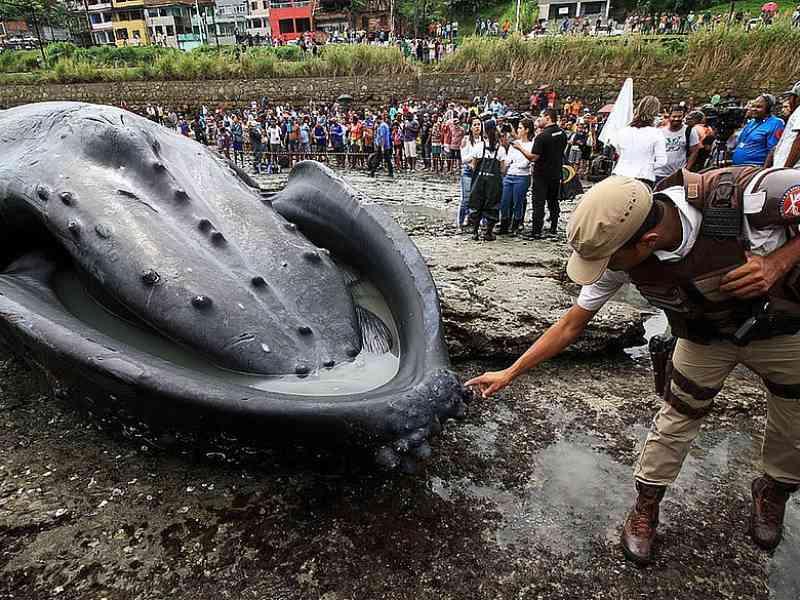Bahia lidera ranking nacional de encalhes de baleias-jubarte; veja