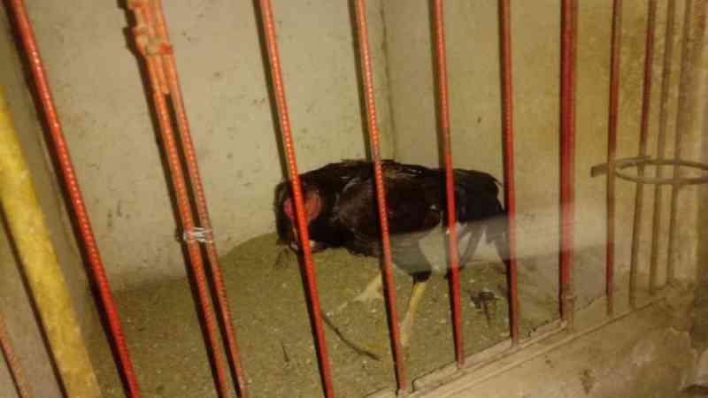 Rinha de galo é desmontada e mais de 200 animais vítimas de maus-tratos são resgatados na Bahia; 63 pessoas foram detidas