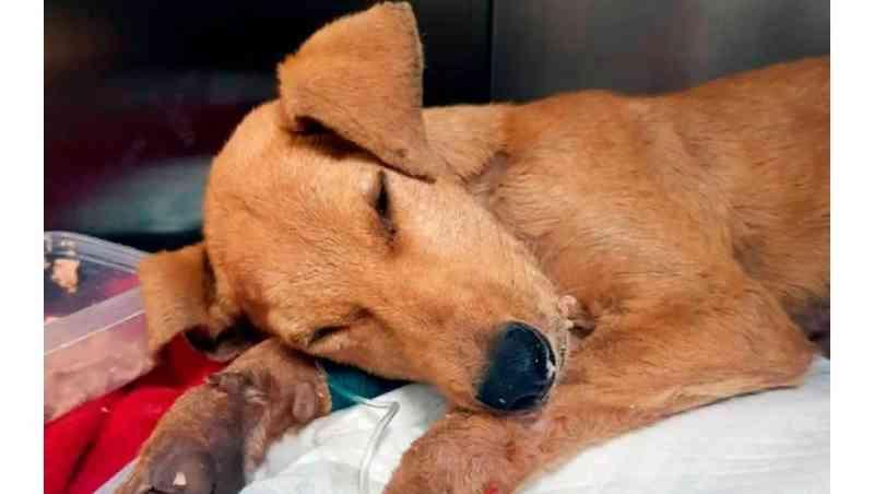 Cão morre após ser estuprado, no Chile