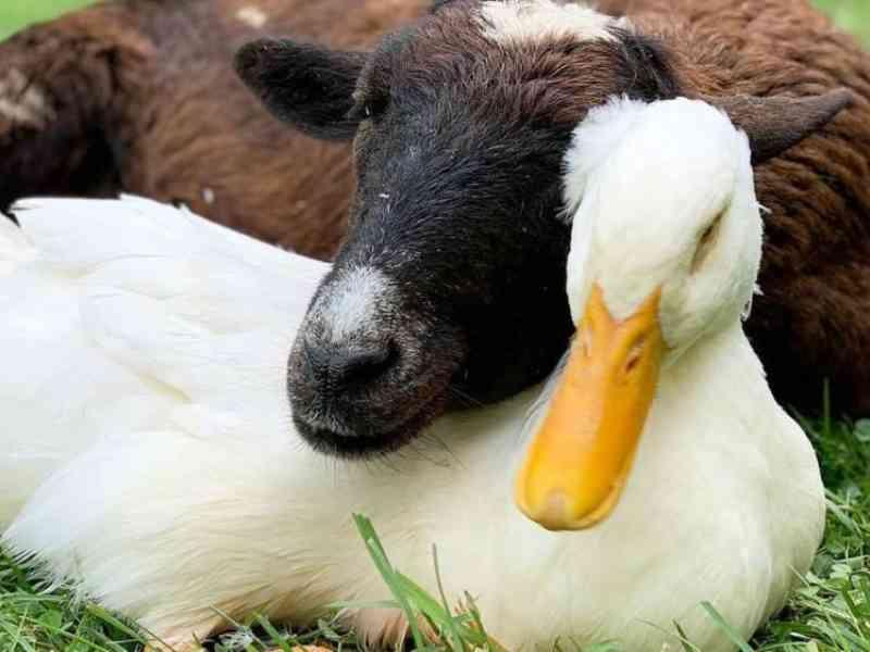 """Cabra inicia amizade com pato com deficiência. """"Este relacionamento é muito especial"""""""