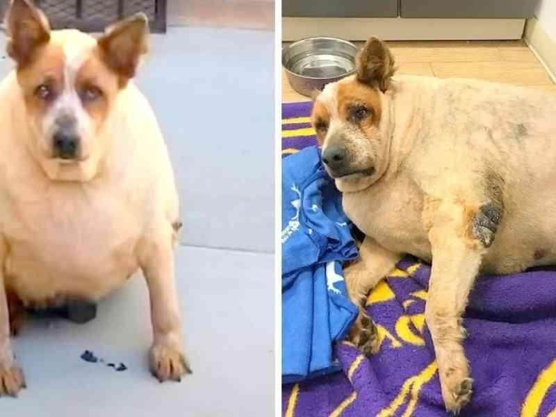 Cachorro com obesidade mórbida é encontrado abandonado perto de uma fazenda