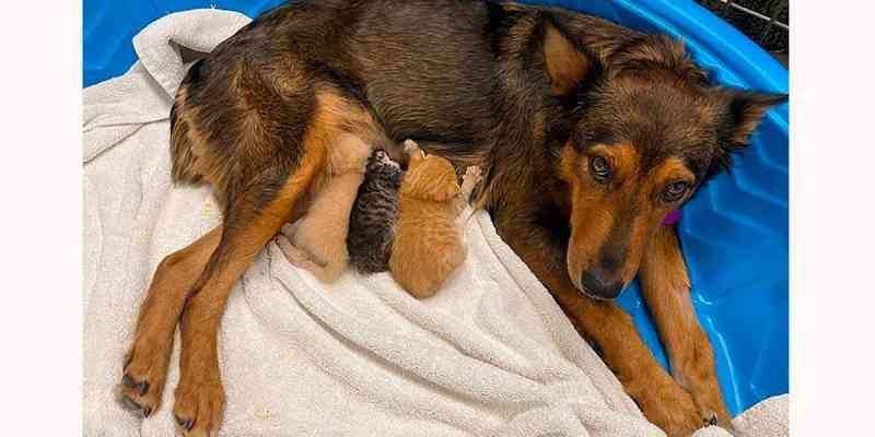 Cadela que perdeu filhotes adota gatinhos recém-nascidos