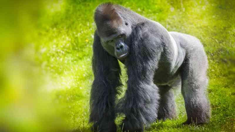 Gorila ultrapassa portas de segurança de zoológico e ataca tratadora de animais na Espanha