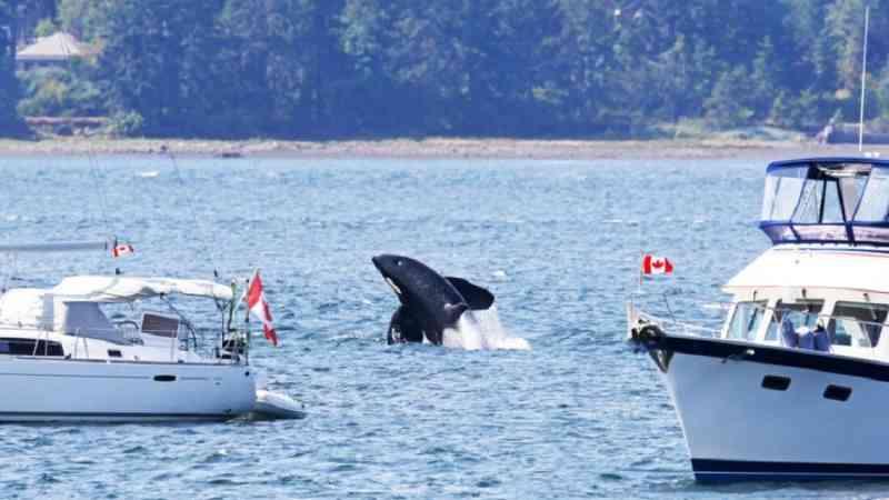Ataques de orcas a barcos estão aumentando na Europa e motivo pode ser o estresse