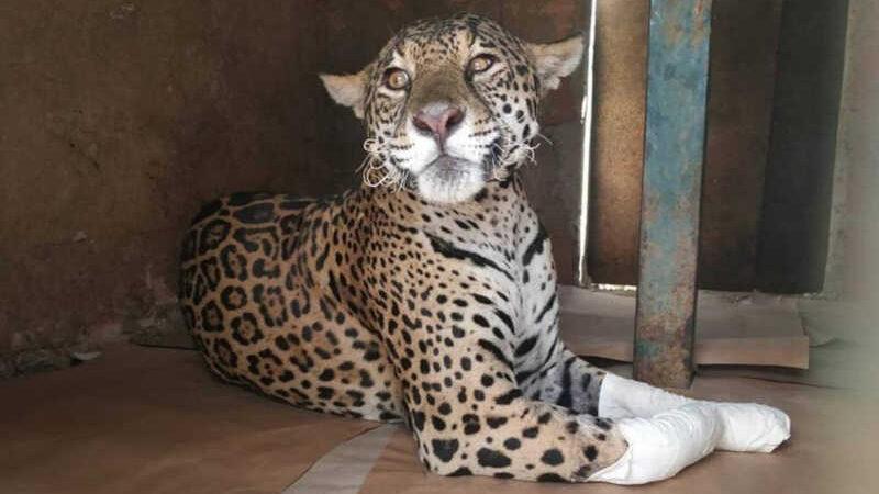 A onça-pintada fêmea, batizada em Amanaci, foi resgatada com queimaduras nas patas em 21 de agosto Foto: Reprodução
