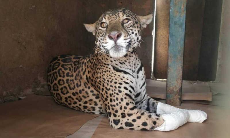 Fazenda vira refúgio de onças feridas do Pantanal