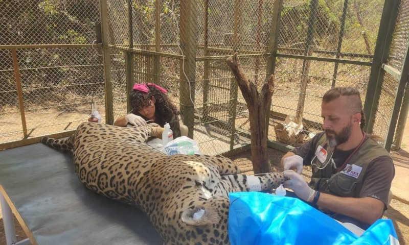 A onça sendo atendida por um veterinário do Instituto de Preservação e Defesa de Felídeos da Fauna Silvestre do Brasil em Processo de Extinção Foto: Divulgação