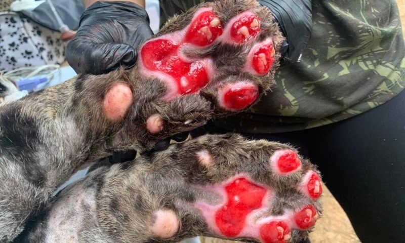 As patinhas queimadas do Ousado quando o animal chegou ao Instituto Nex Foto: Divulgação