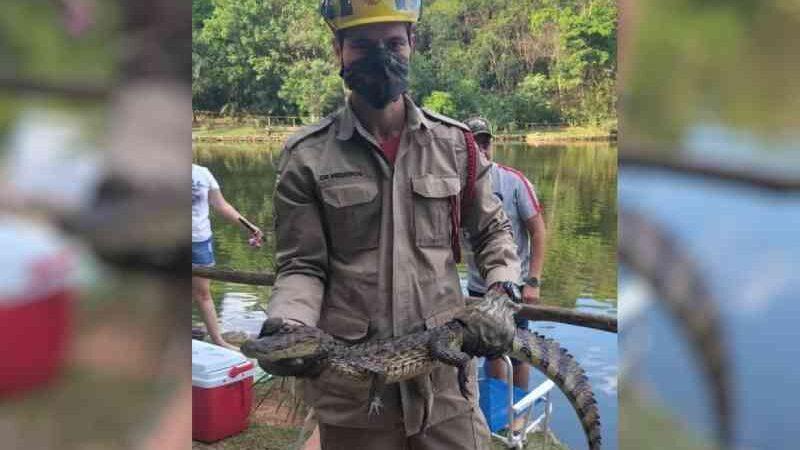 Jacaré é resgatado após ser 'pescado' por morador em lago de um condomínio, em Goiânia, GO