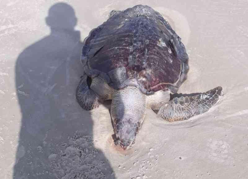Ação humana pode ter causado morte de tartaruga na praia do Calhau, em São Luís, MA