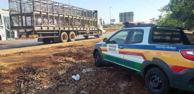 18 porcos morrem em situação de maus-tratos dentro de caminhão