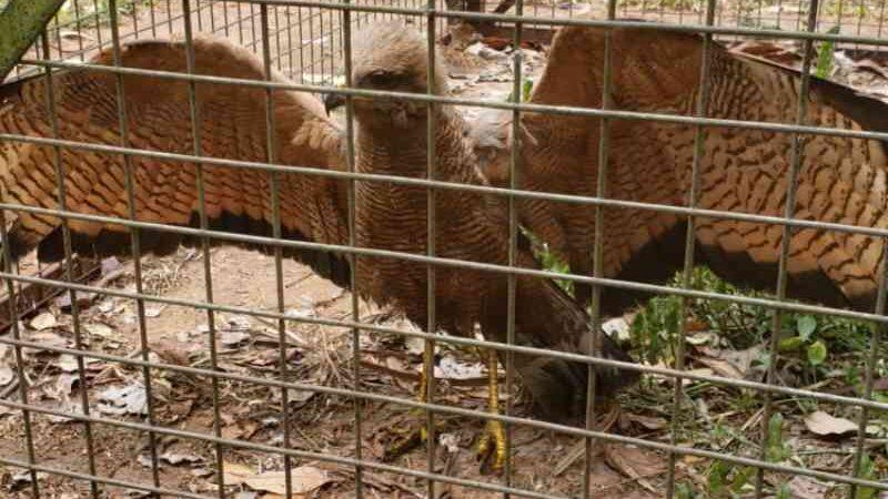Vítimas de incêndios no Pantanal, animais passam por reabilitação de até 4 meses em Campo Grande, MS