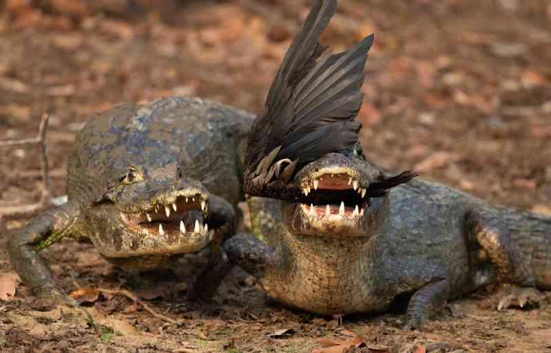 Falta de alimentos, desequilíbrio, risco de extinção: como as queimadas afetam os animais do Pantanal