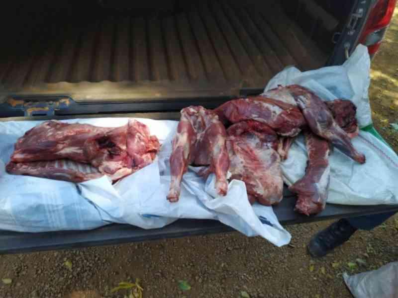Caçador é multado em R$ 2,4 mil abate de três porcos silvestres