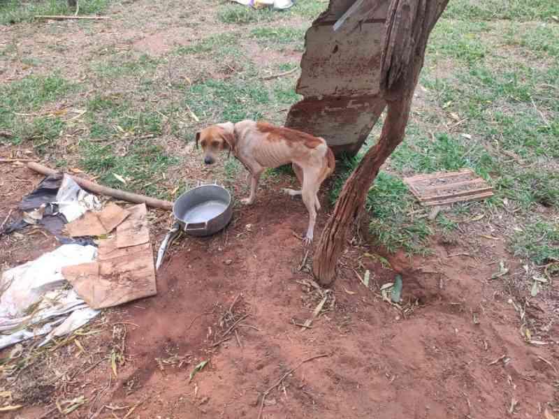 Idosa de 71 anos mantinha cachorros amarrados, doentes e com pouco alimento em Bataguassu, MS
