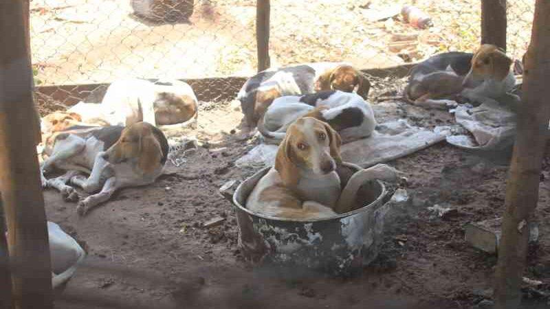 Juiz manda que 40 cães 'de caça' resgatados fiquem em lares temporários, em Campo Grande, MS