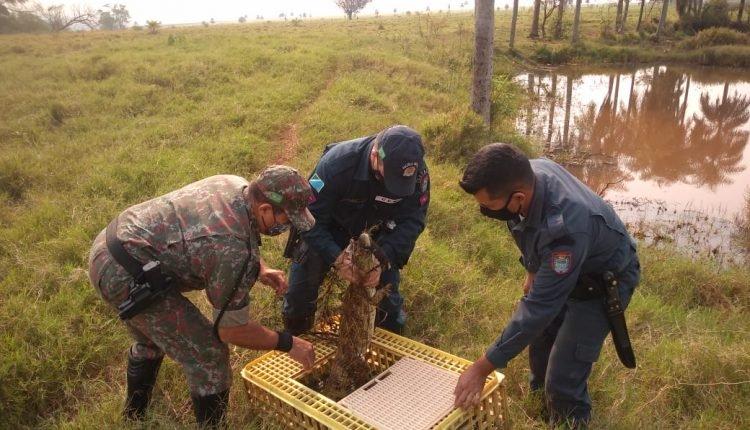 Polícia Ambiental resgata jacaré de 1,5 metro preso em anzol colocado em lagoa