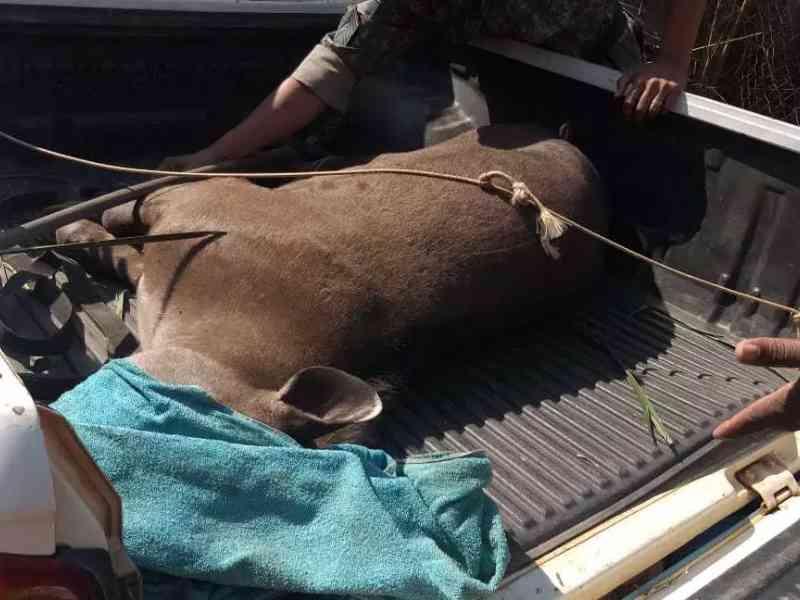 Com queimaduras, anta de 150 quilos é resgatada debilitada pela PMA