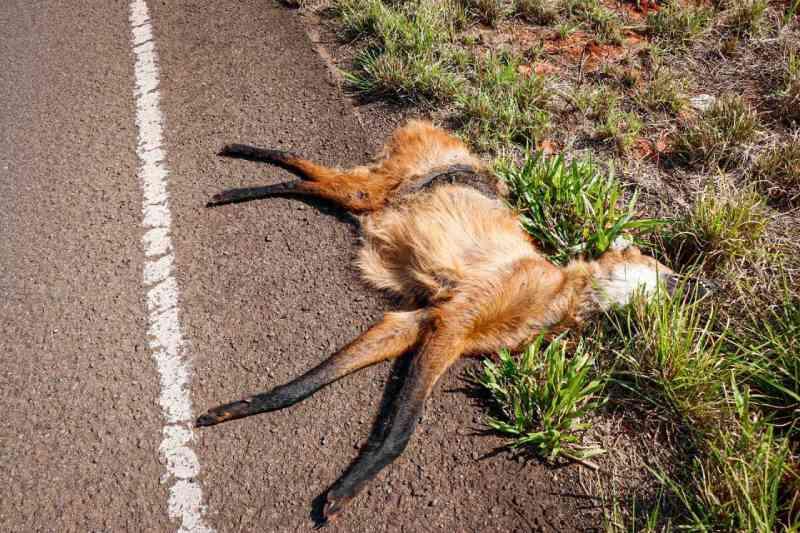 Em rodovia onde massacre de animais é evidente, lobo-guará é uma das vítimas