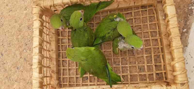 Mulher é detida ao ser flagrada com sete aves silvestres dentro de carro em Cuiabá, MT