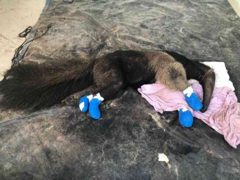 Extenuado e com as quatro patas queimadas, tamanduá é resgatado de incêndio no Pantanal