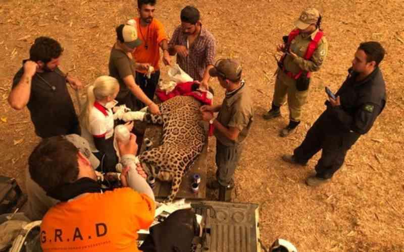 Fogo no Pantanal: voluntários resgatam onça-pintada com patas queimadas