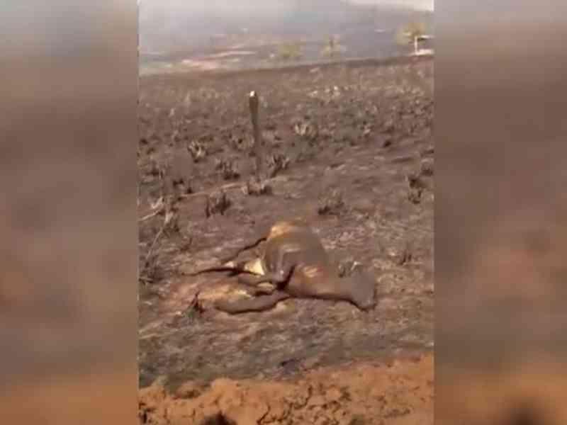 Incêndio em propriedade mata 21 animais carbonizados em Poxoréu. MT