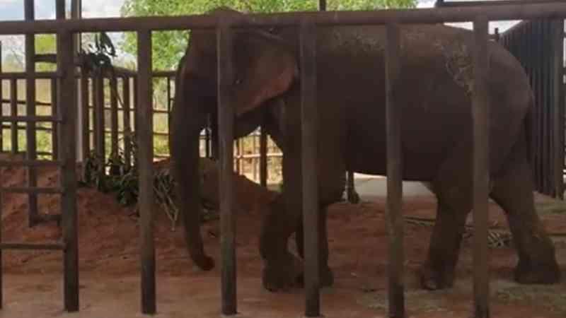 Vídeo: Bambi tem primeiro dia tranquilo no Santuário de Elefantes