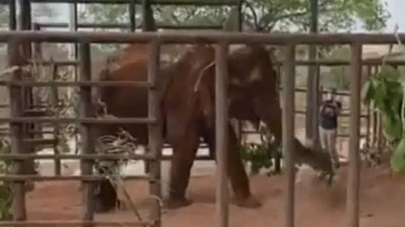 Bambi chega ao Santuário de Elefantes Brasil; veja vídeos