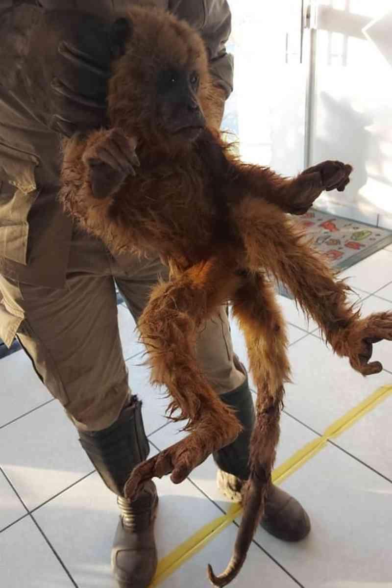 Macaco pula de árvore para fugir de incêndio, sofre queimaduras e é tratado em MT