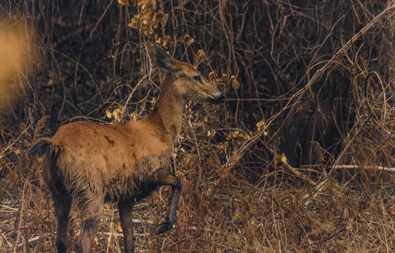 Observar cervos pantaneiros é uma das atrações do ecoturismo local, que vem sendo ameaça pelas queimadas (Foto: João Paulo Guimarães/Repórter Brasil)