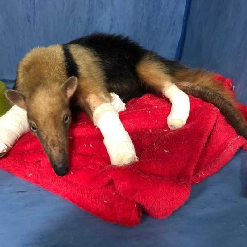 Tamanduá-mirim fêmea é resgatada de incêndio com ferimentos graves nas patas e na cauda em MT