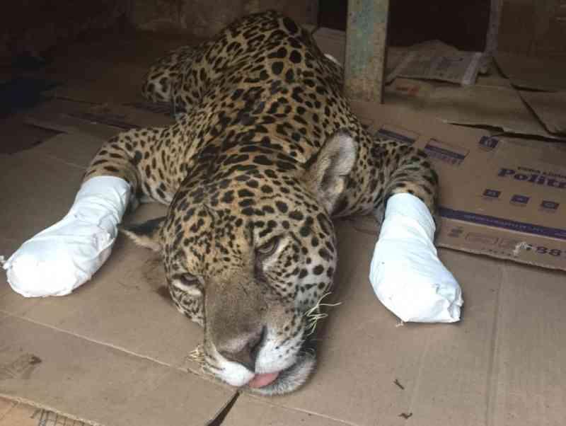 Voluntários arrecadam alimentos e remédios para ajudar animais vítimas das queimadas no Pantanal em MT