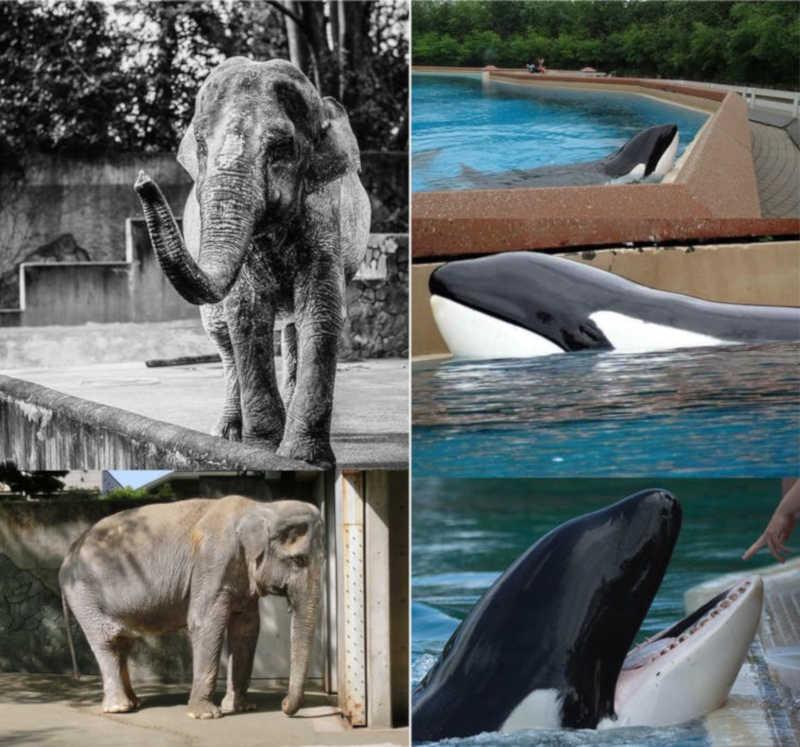 Hanako, uma elefante asiática mantida em um Parque Zoológico em Inokashira, Japão e Kiska, uma orca que vive em Marineland, Canadá. Uma imagem demonstra os dentes danificados de Kiska. Elefantes no Japão (imagem a esquerda), veja animais em cativeiro em Ontário (imagem à direita)