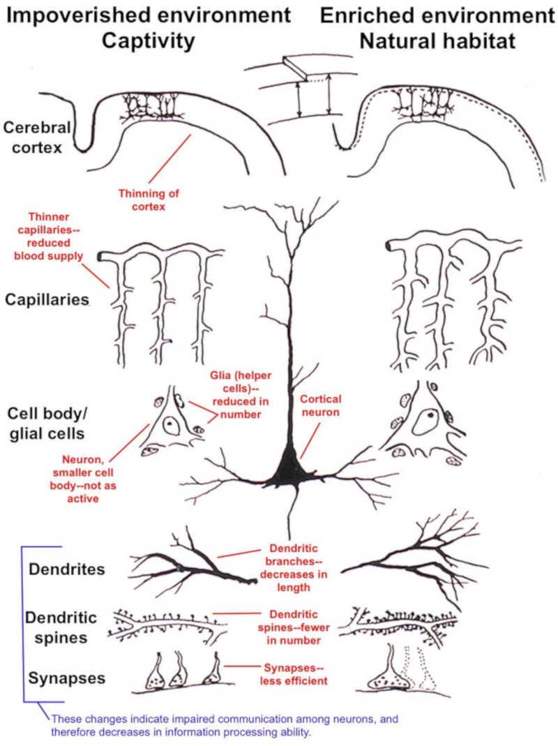 A ilustração mostra diferenças no córtex cerebral em animais mantidos em pobres (cativeiros) e enriquecidos (natural) ambientes. O empobrecimento resulta em afinamento do córtex, uma queda no suprimento do sangue, menos suporte para os neurônios e queda na conectividade entre os neurônios. Arnold B. Schelbel