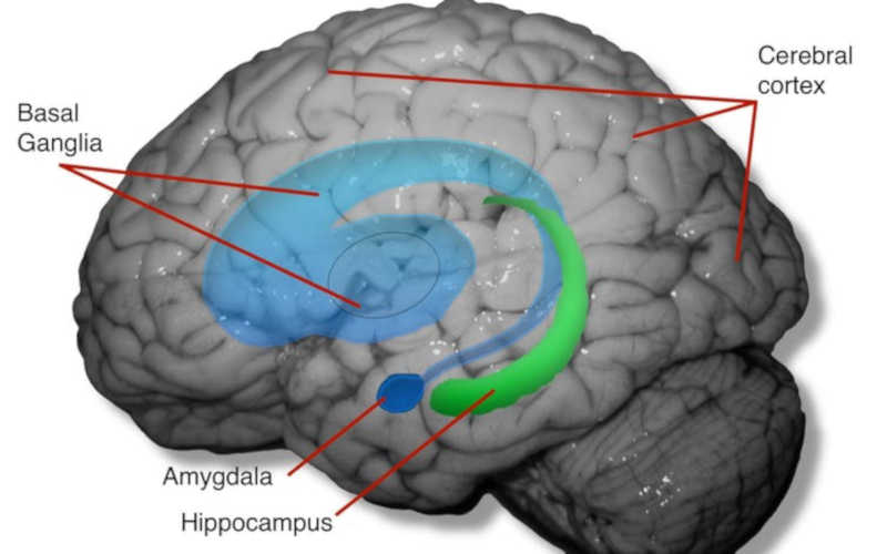 Córtex cerebral, hipocampo e amídala são fisicamente alterados pelo cativeiro, juntamente com o circuito cerebral que envolve os gânglios basais. Bob Jacobs