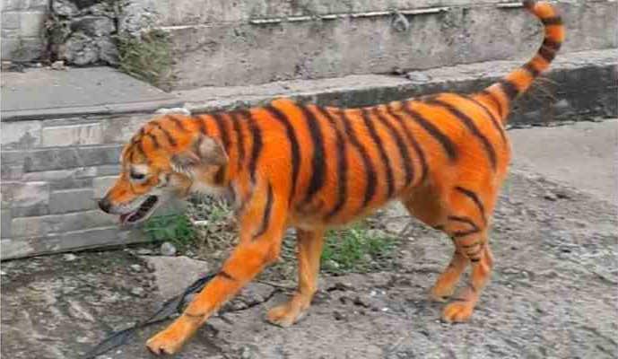 Cão é pintado com listras para parecer tigre