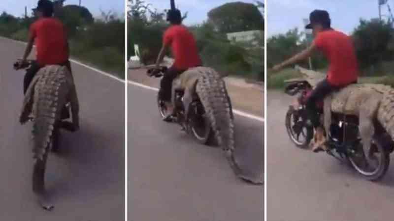 Traficante de animais selvagens leva crocodilo de 2,5 metros em moto