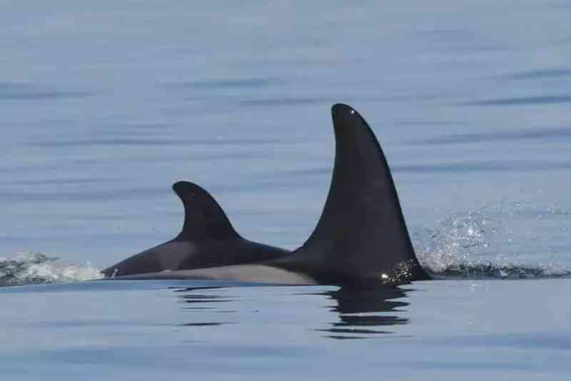 Orca que carregou filhote morto por 17 dias dá à luz outro bebê
