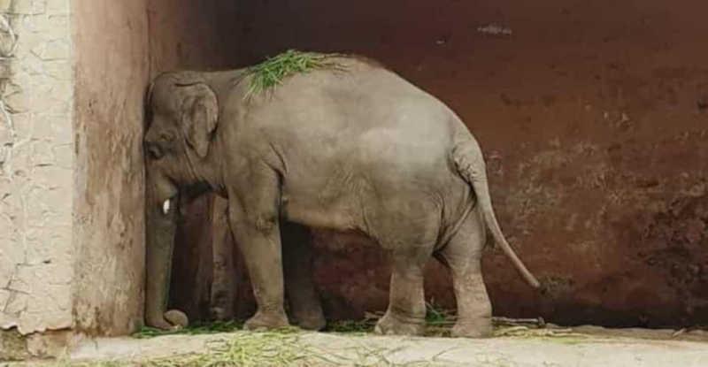 O 'elefante mais solitário do mundo' vai ser libertado do zoológico após 35 anos