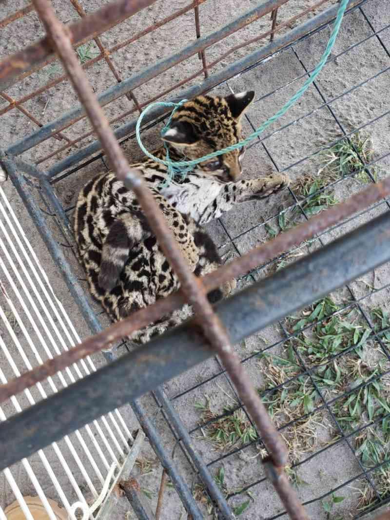 Filhote de gato-maracajá que sofria maus-tratos é resgatado no Marajó, PA