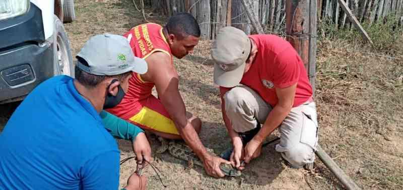 Jacarés são resgatados de cativeiro e devolvidos para natureza no nordeste do Pará